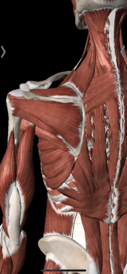 A back view of the mid back and shoulder muscles