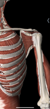 Front view of the rotator cuff
