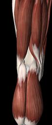 Hamstrings and Gastrocnemius support