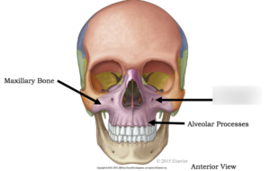 Photo of bones in the skull