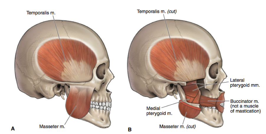 TMJ pain, TMD, Temporalis, Jaw Muscles